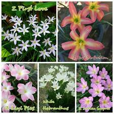 5 Rain Lily Bulbs Mix : Zephyranthes 'First love'+'Rose Perfection'+Habranthus++