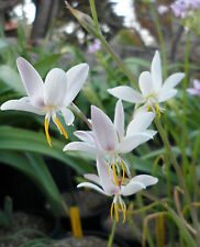 Hesperantha bachmanii, evening scented species, 1 PACK OF SEEDS (20  seeds)