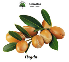 Argan - Argania spinosa - 3 semillas - seeds