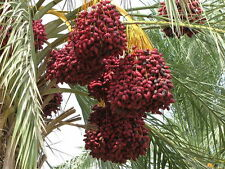 Liveseeds - Dwarf date palm 10 seeds - best room palm - Palm Seeds