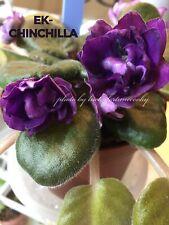African Violet Plant * Ek-Chinchilla * Russ/Ukrainian. Standard.
