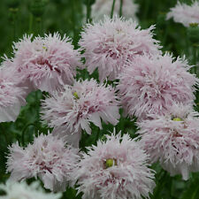 Kings Seeds - Papaver Somniferum Lilac Pom Pom - 500 Seeds