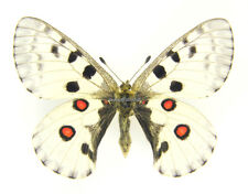 Unmounted Butterfly/Papilionidae - Parnassius nomion mandschuriae, male, Russia