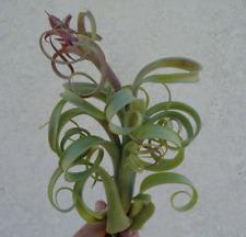 Tillandsia Intermedia x Capitata Twisted Tim Air Plants
