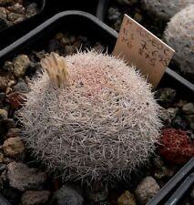 Mammillaria Roseocentra (10SEEDS)Rare Cactus Samen Korn Graine Semi 種子 씨앗 Семена