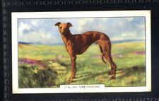 Gallaher Dogs 2nd Series 1938 - Italian Greyhound No. 29