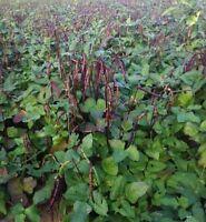 Knuckle Purple Hull Cowpea Seed - Crowder Peas Southern Pea Seeds (½oz to 4oz)