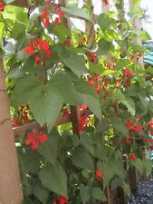 Bean Seed Heirloom Scarlet Runner 30 Seeds Vigorous Tall Vines Flowers Vegetable