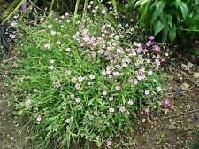 Gypsophile nain rose x 20 graines