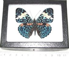 Hamadryas amphinome Real Framed Butterfly Blue White Peru