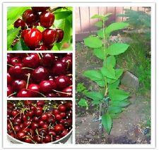 30 Sweet Cherry Seeds Mazzard Cherry Prunus Avium Heirloom Organic fruit #92