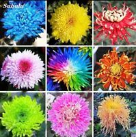 20PCS Rainbow Chrysanthemum Flower Seeds rare color Home Garden