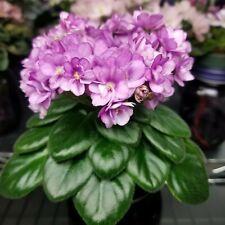SK-Fenix semi-miniature African Violet starter plant