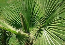 Washingtonia filifera (Desert Fan Palm) - 10 seeds. Unusual Hardy Palm (to -6C).