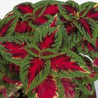 50 Coleus Seeds Rainbow Color Pride Flower Seeds