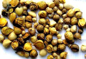 Garlic, Silver Rose Garlic Seeds 500+ SEEDS NON-GMO healthy USA garlic seeds