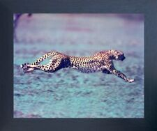 "Running Cheetah ""Spotted Wind"" Wildlife Animal Espresso Framed Art Print (20x24)"