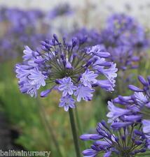 Agapanthus Johanna dark blue flowers excellent garden plant