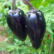 CHILLI Hungarian Black Heirloom Seeds (V 567)