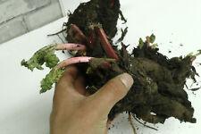 Rhubarb Crown Victoria  - 2 years old - Vegetable Plant