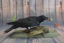 European BlackBird Raven Partridge Mount Rock Taxidermy Stuffed Crow Bird