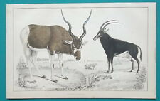 Mammals Antelopes - 1853 Hand Colored Antique Print