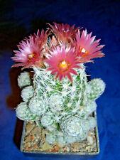 Escobaria sneedi ssp. leei , frosthart, Pflanze, Kaktus