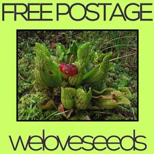 LOCAL AUSSIE STOCK - Pitcher Plant, Sarracenia Purpurea Montana Seeds ~40x