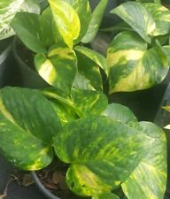 "Golden Pothos Devil's Ivy 6 Leaves per 4"" Pot~Houseplant Indoors/Outdoors"