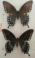 Entomologie couple Papilio troilus - Canada - 227Blanchet -