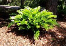 Zamia floridana   Coontie   Bonsai   10 Seeds   (Free Shipping)