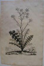 1696 LIMONIUM ELEGAS ASPLENIADEUM original Abraham Munting botanica statice