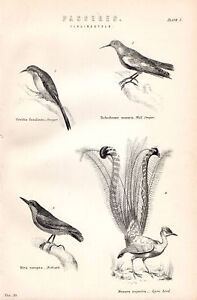 1880 PRINT LYRE BIRD NUTHATCH WALL CREEPER PASSERES etc