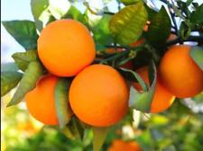 Valencia Oranges Fruit Tree Seeds Sweet Navel Orange Fruit Plants Seed 10 Pcs