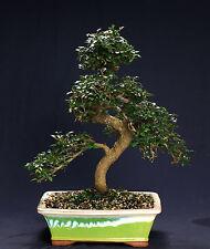 Chinese Elm Bonsai Outdoor/Indoor Large Beginner Bonsai Tree CE8003