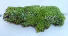 Star Moss Bark Wood Lichen Log Plant Terrarium Dart Frog Snake VIVARIUM 2633