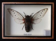 Giant real Cicada Speciosa beetle display taxidermy insect entomology
