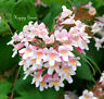 BEAUTY BUSH - 30 SEEDS - Kolkwitzia amabilis - Bonsai or shrub Linnaea amabilis