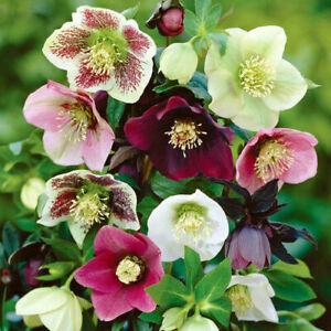 15+ HELLEBORUS CHRISTMAS ROSE FLOWER SEEDS MIX / WINTER BLOOMING PERENNIAL