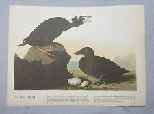 1942 Audubon #317 Surf Scoter & #318 Avocet Full Color Lithograph