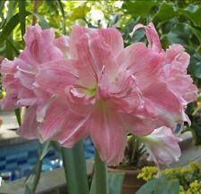 Jumbo Amaryllis ROZETTA 20+ centimeters large - Will Bloom Spring 2019