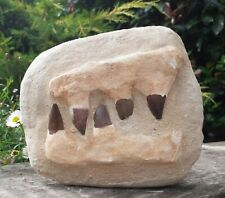 More details for mosasaur fossil dinosaur 5 large teeth double jaw morocco