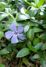 50 Vinca minor, Periwinkle fully rooted plants, Evergreen, Very winter hardy