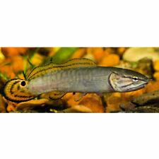 "2"" - 3"" Bowfin Live Tropical Freshwater Aquarium Fish Tank Snakehead"