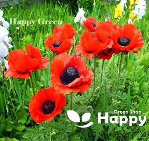 ORIENTAL POPPY MIX - 900 seeds - Papaver Orientale - Huge open flowers