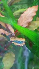 6 Dream Blue Velvet Shrimps Fresh Water Live Aquarium Round Pelia Xmas Java moss