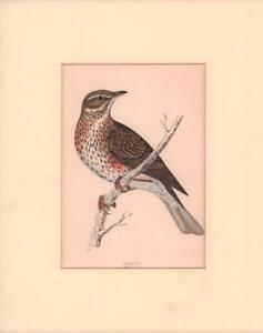 REDWING BIRD, hand colored wood block antique Morris print, original MATTED 1880