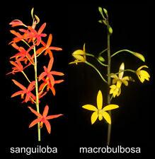 Laelia sanguiloba x macrobulbosa hybrid Orchid Plant