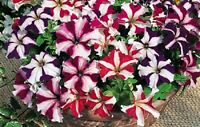 Petunia Seeds 50 Pelleted Seeds Tritunia Star Mix Pelleted Petunia Seeds