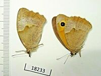 Butterflies, Lepidóptera, 18233, Satyridae sp., 2 pieces from southern Russia